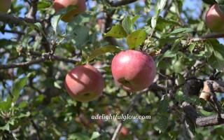 Apple Picking Past